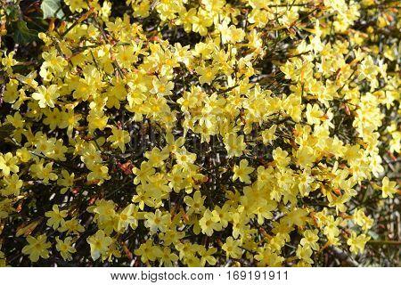Perennial Bush Yellow Mountain Laurel Flowers Winter Blooming