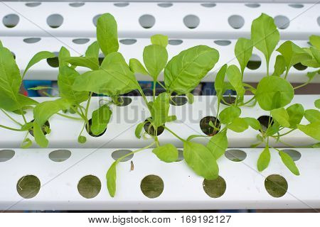 Hydroponic farm in green house show agriculture industry