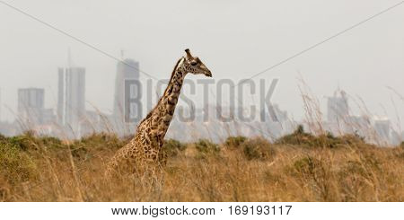 panoramic view from a lonely giraffe with the city of nairobi on the background, nairobi national park, kenya