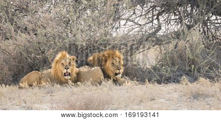 two wild male lions resting at the strong sun of Etosha National Park, Namibia
