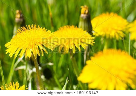 Yellow dandelion flower on green grass summer or spring meadow on a beautiful day full of sun light
