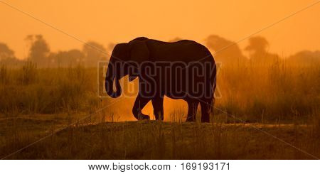 panoramic view from a silhouette of an adult african elephant at sunset shot at an african national park