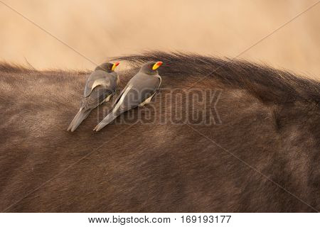 Red-billed Oxpecker (buphagus erythrorhynchus) meeting on the back of a wild african buffalo, serengeti mational park, tanzania