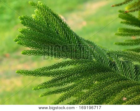 Close-up of Vibrant Green Cook Pine Tree Leaves in the Afternoon Sunlight