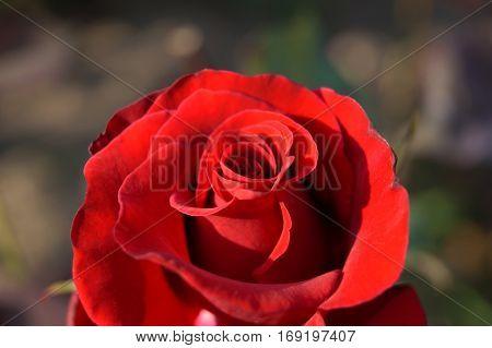 red rose lighten by sun in the garden