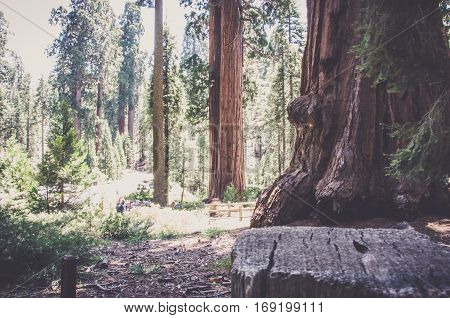 Huge sequoia in Sequoia National Park, California USA