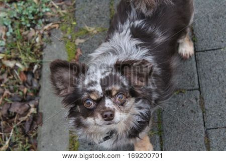 Chihuahua dog with rare color Choko merle, full of energy stands the small dog with his fluffy fur and looks interested in the camera, on an early winter evening in January 2017 on a walkway in Kirchsahr, in the background Stones of walkway with green gra