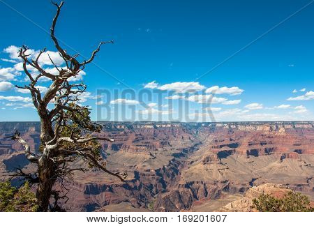 Shrivelled tree on the background of the Grand Canyon National Park, Arizona USA
