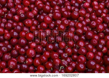 Rustic background with red tasty colorful cranberries top view. Soft focus closeup cranberry photo for eco cookery business. Antioxidant natural cowberry harvest bright color