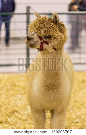 one a Alpaca in corral on exhibition