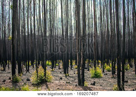 After a forest fire in South Africa