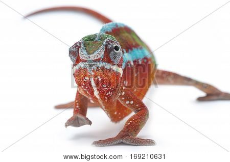 color lizard chameleon isolated on white backround