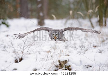 Flying Great Grey Owl In Winter