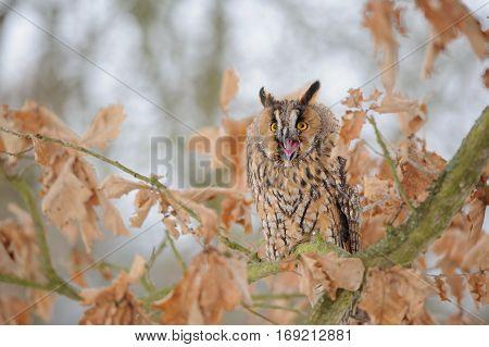 Shouting Long-eared Owl On Tree Branch