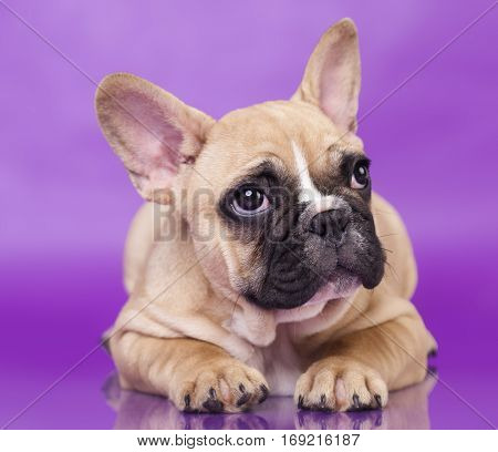 French Bulldog puppy,3 months old