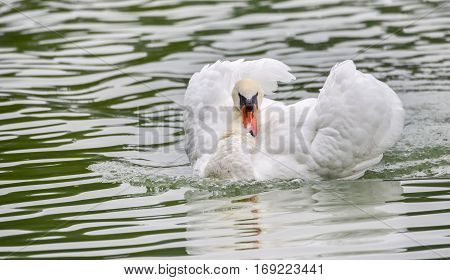 Mute swan (Cygnus olor) swims around in its pond in early morning.  Ruffles and displays his wings.
