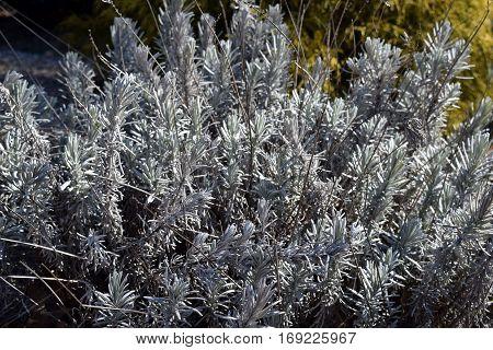 Perennial  Evergreen Silver Fred Boutin Lavandula Lavender