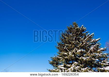 Big snowy pine tree (fir) during a cold day with a beautiful blue sky. February 6, 2017 - Levis, Quebec, Canada.