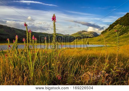 Meadow next to Loch Sunart full of high foxgloves with green hills in background Scotland