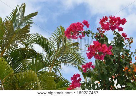 Bougainvillea and palm trees at Las Hadas Resort, Manzanillo, Colima, Mexico.