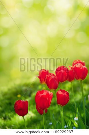 Colorful Nature Background of Tulips Flowers. Amazing Red Tulips Growing in Decorative Flowerbed in the Park Garden of Spring Sunny Day. Floral Landscape Vertical Image With Copy Space