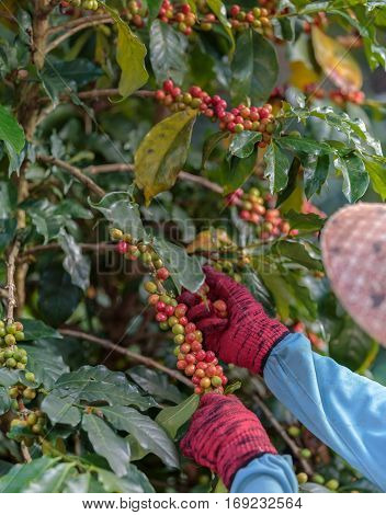 Close Up hand of farmers picking branch of arabica coffee berries red.