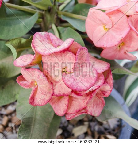 red pink Crown of thorns flowers : Euphorbia milli Desmoul