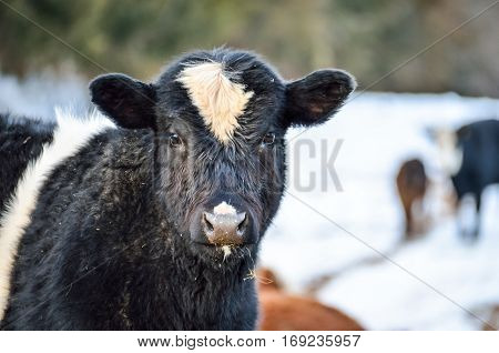 Closeup of black and white jersey cow eating during snowy winter