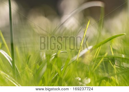 Green abstract background captured on spring gras