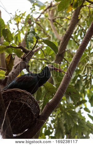Southern bald ibis known as Geronticus calvus perches in a nest in a tree