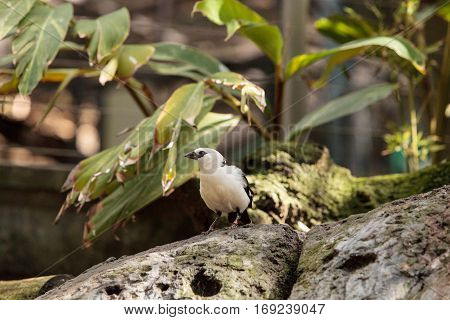 White-headed Buffalo weaver Dinemellia dinemelli bird is small with a white head and a bright orange belly