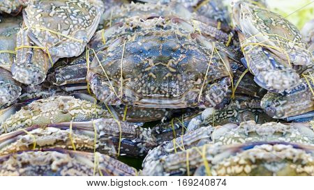 Flower crab Blue crab Blue swimmer crab Blue manna crab Sand crab Portunus pelagicus Portunus