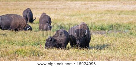 Bison Buffalo Cow and calf in Pelican Creek grasses in Yellowstone National Park in Wyoming USA