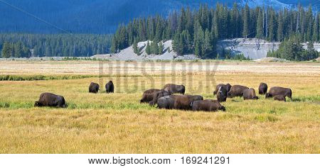 Bison Buffalo Herd grazing in Pelican Creek grassland in Yellowstone National Park in Wyoming USA