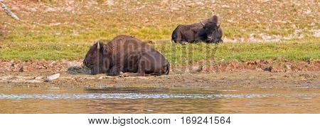 Bison Buffalo pair by Yellowstone River in Yellowstone National Park in Wyoming USA