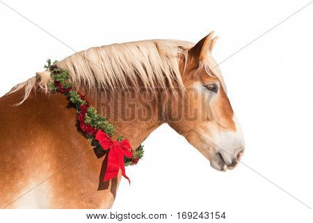 Profile of a blond Belgian draft horse wearing a Christmas wreath, isolated on white