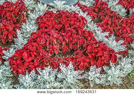 Beautiful red coleus surrounded by dusty miller creating a triangle of each plant