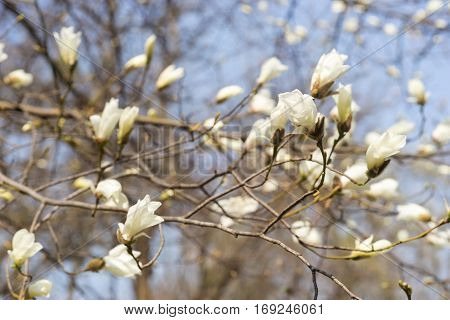 Branch with many magnolia flowers on blue sky.