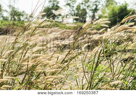background of brown and yellow grass flowers in sunny day