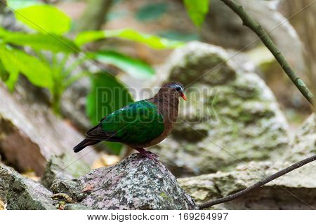 Emerald Dove, Chalcophaps indica perched on a rock in nature.