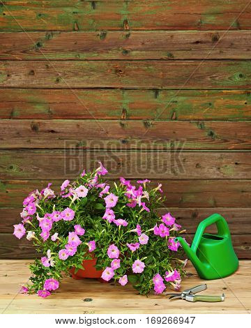 Pink petunia flowers in flowerpot with garden accessories on wooden background.