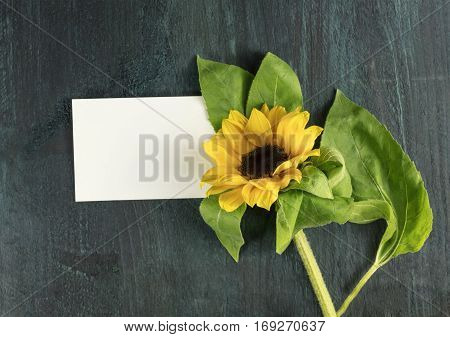 An overhead photo of a shiny yellow sunflower with green leaves on a dark blue texture with a blank piece of white paper for copy space. A greeting card design template