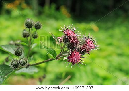 Flower buds on wooly or downy burdock known as Arctium tomentosum