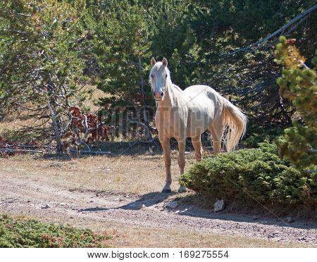 Palomino mare on Tillett Ridge in the Pryor Mountain Wild Horse range in Montana USA