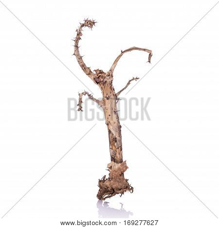 Dry Branch Of Crown Of Thorns (euphorbia Milii) Without Leaf. Studio Shot Isolated On White