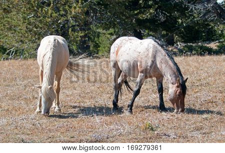 Palomino mare and Red Roan Stallion grazing together on Tillett Ridge in the Pryor Mountain Wild Horse Range in Montana U S A