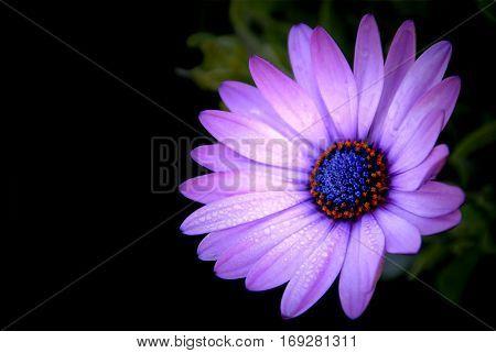 Purple African Daisy in garden ( Osteospermum Ecklonis ) on black background