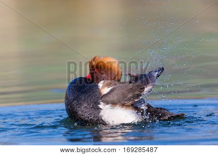 Natural male red-crested pochard (Netta rufina) swimming pluming splashing