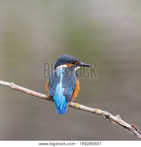 natural young common kingfisher (Alcedo atthis) sitting on branch