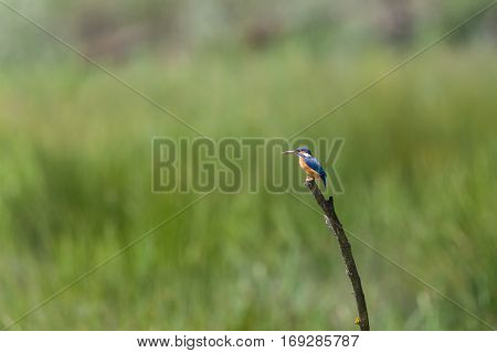 female common kingfisher (Alcedo atthis) sitting on branch in sunlight